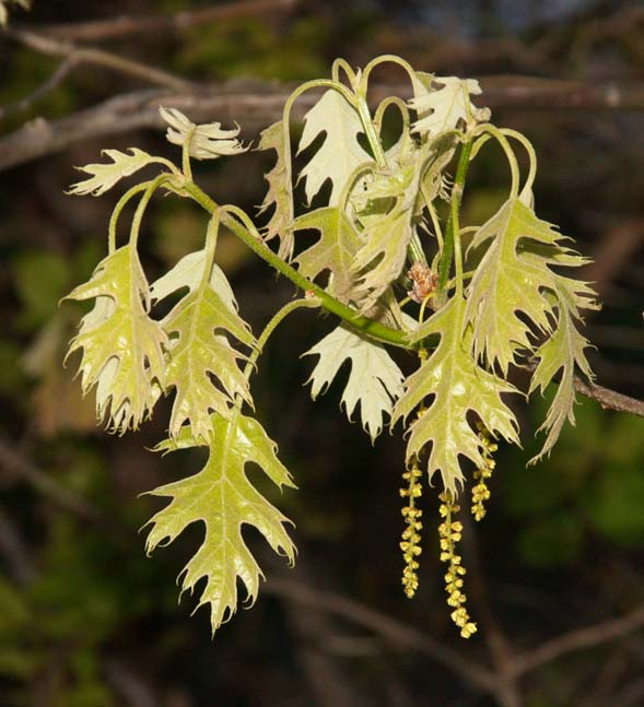 Young red oak leaves and catkins (photo by Webmaster)