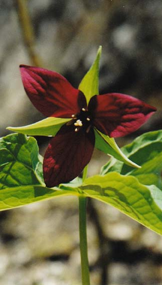 Red trillium blooming during a hike in May (photo by Webmaster)