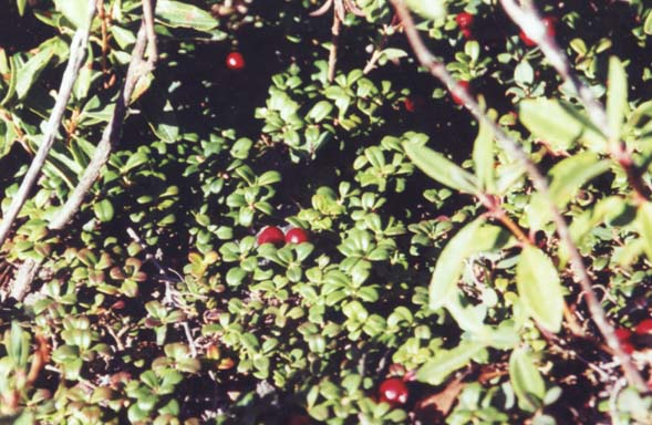 Mountain cranberry on West Peak (photo by Webmaster)