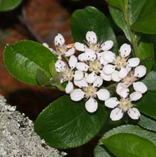 Chokeberry (photo by Webmaster)