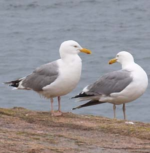 Seagulls along Ocean Path (photo by Webmaster)