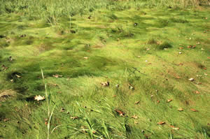 Spartina sp. (cordgrass) (photo by Ben Kimball)