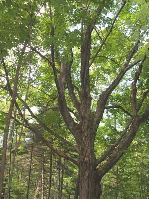 "Old branching ""pasture"" maple tree on the trail to Blueberry Mountain (photo by Webmaster)"