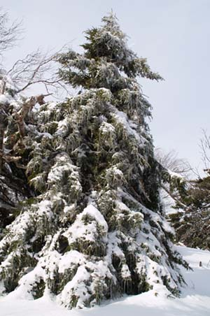Conifer, laden with snow and icicles, on Carleton's summit (photo by Webmaster)