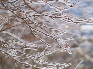 Frozen branches (photo by Webmaster)