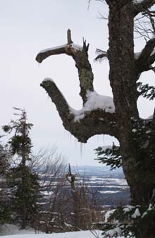Tree branches shaped like a big clamp on Carleton's summit (photo by Webmaster)