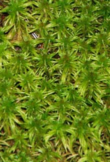 Sphagnum moss (photo by Webmaster)