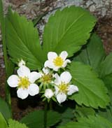 Strawberry plant (photo by Webmaster)