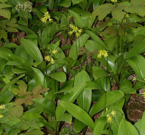 Yellow clintonia on Cutler Coast hike (photo by Webmaster)