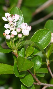 Chokeberry shrub (photo by Webmaster)