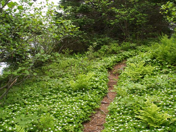 Ferns and flowering bunchberry along Coastal Trail (photo by Webmaster)