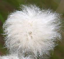 Cotton sedge flower (photo by Webmaster)