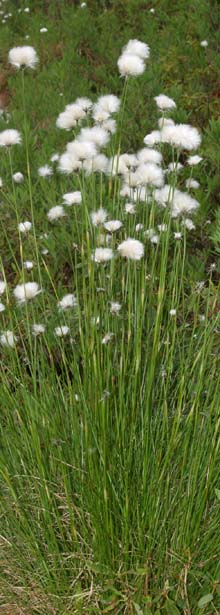 Cotton sedge plants (photo by Webmaster)