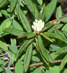 Labrador tea shrub with flower buds (photo by Webmaster)