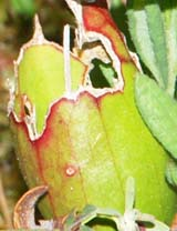 Pitcher plant container-like leaf (photo by Webmaster)