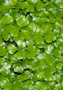 A mat of evergreen goldthread leaves (photo by Webmaster)