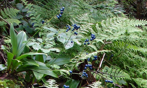 Bluebead lilies and ferns (photo by Dianne Flammia)
