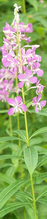 Fireweed (photo by Webmaster)