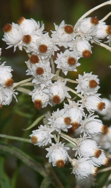 Pearly everlasting flowers (photo by Webmaster)