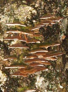 Mini shelf fungi on tree trunk (photo by Webmaster)