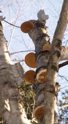 """Pancake"" fungi on birch tree (photo by Webmaster)"