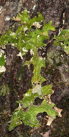 Lichen on tree trunk (photo by Webmaster)