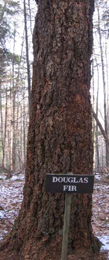 Douglas fir tree on the Tree Identification Trail (photo by Dennis Marchand)