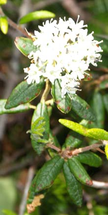 Labrador tea growing along the upper part of Skookumchuck Trail (photo by Webmaster)