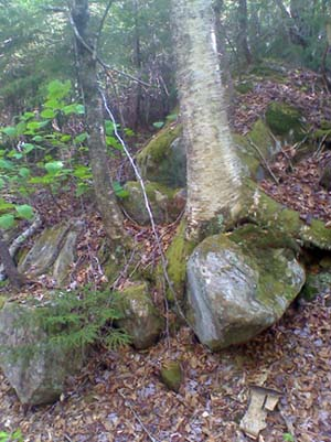 Tree growing over a rock (photo by Bill Mahony)