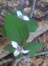 Painted Trillium (photo by Bill Mahony)