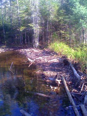 Franconia Brook Trail crossing a beaver dam (photo by Bill Mahony)