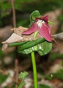 """Strangled"" red trillium (photo by Webmaster)"