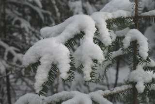 Fresh snow on conifer branch (photo by Burt Hemp)