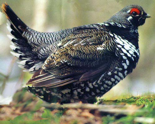 Spruce grouse (photo by James Horner)