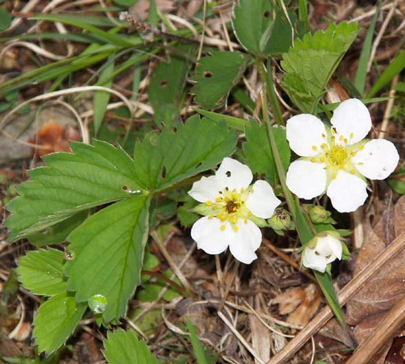 Common strawberry plant's leaves and flowers (photo by Webmaster)