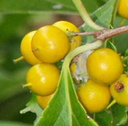 Yellow berries with yellow spike (photo by Webmaster)