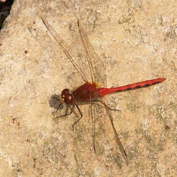 Red dragonfly (photo by Webmaster)