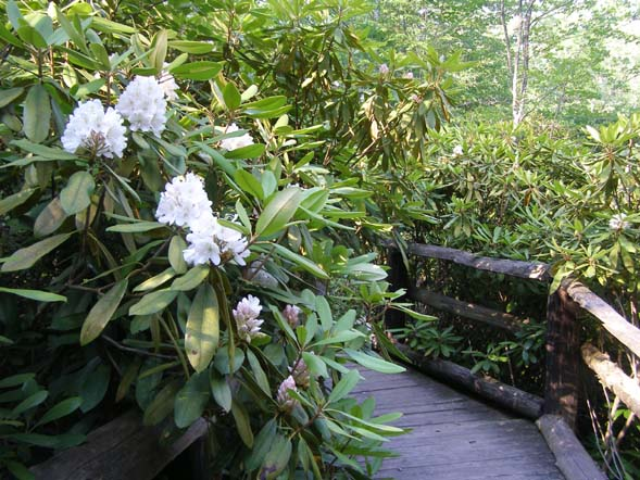 Rhododendron forest at Rhododendron State Park (photo by Robin Hood)