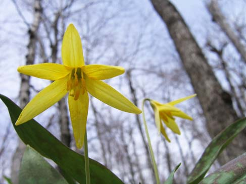 Trout lily (photo by Mark Malnati)