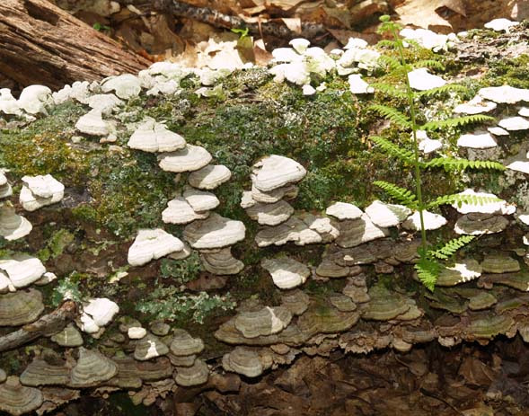 Fungi and a little fern growing on a log (photo by Webmaster)