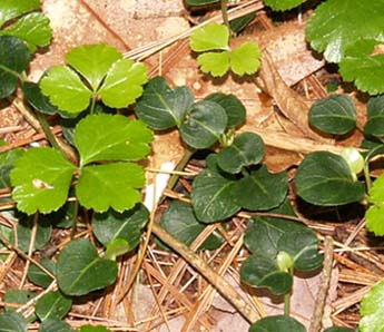 Goldthread (light green) and partridgeberry (dark green) leaves (photo by Webmaster)