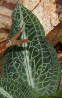 Rattlesnake plantain leaves (photo by Webmaster)