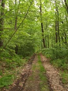 Midstate Trail on Bushy Lane through Savage Hill WMA (photo by Webmaster)
