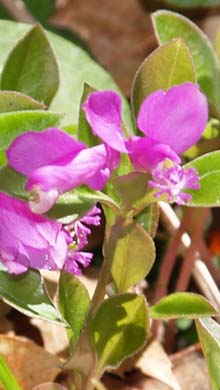 Fringed polygala (photo by Webmaster)