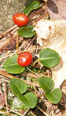 Partridgeberry (photo by Webmaster)