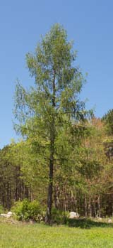 Tamarack (photo by Webmaster)
