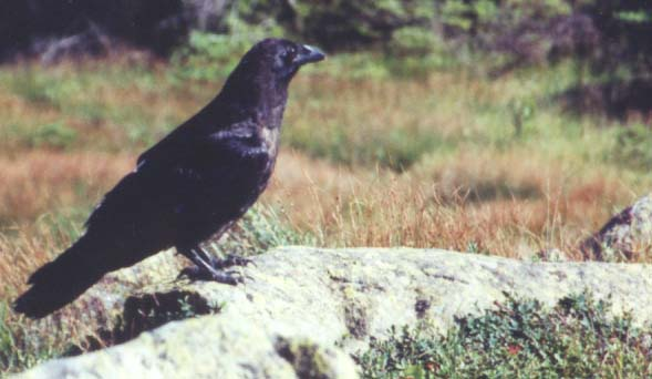 Raven on Mt. Moosilauke's summit (photo by Webmaster)