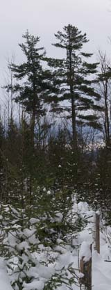 Pine trees, from Mud Pond Trail (photo by Webmaster)