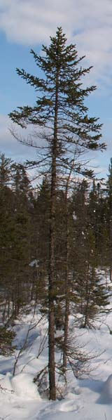 Conifer at Mud Pond Bog (photo by Webmaster)