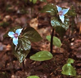 Painted trilliums (photo by Ben Kimball for NH Natural Heritage Bureau)